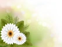 Άσπρο υπόβαθρο λουλουδιών gerbera Στοκ Φωτογραφία