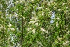 Άσπρο υπόβαθρο πουλί-κερασιών λουλουδιών Στοκ Εικόνες