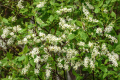 Άσπρο υπόβαθρο πουλί-κερασιών λουλουδιών Στοκ φωτογραφίες με δικαίωμα ελεύθερης χρήσης