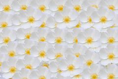 Άσπρο υπόβαθρο ροδαλών ισχίων Στοκ εικόνα με δικαίωμα ελεύθερης χρήσης