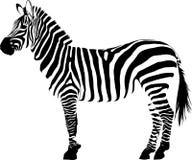 Άσπρο υπόβαθρο vectorin απεικόνισης άσπρο και μαύρο ζωικό ζέβες διανυσματική απεικόνιση