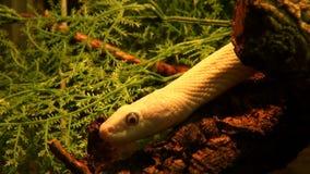 Άσπρο φίδι απόθεμα βίντεο