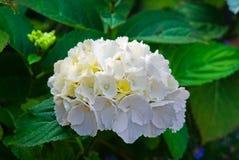 Άσπρο φρέσκο πράσινο καλοκαίρι λουλουδιών ανθών hydrangea Στοκ Εικόνες