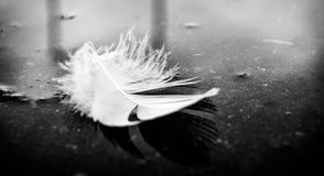 Άσπρο φτερό Στοκ Φωτογραφίες