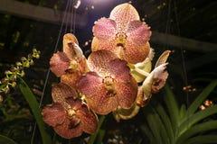 Άσπρο φως που λάμπει κάτω στο red-brown λουλούδι ορχιδεών coerulea της Vanda Στοκ φωτογραφίες με δικαίωμα ελεύθερης χρήσης