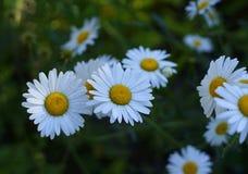 άσπρο φως του ήλιου ανθών υποβάθρου λουλουδιών chamomile πράσινο Στοκ Φωτογραφίες