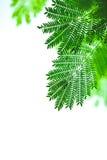 Άσπρο φύλλο popinac Στοκ Εικόνες