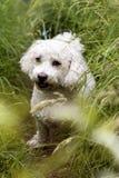 Άσπρο χαριτωμένο σκυλί στη χλόη στοκ εικόνα με δικαίωμα ελεύθερης χρήσης