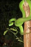Άσπρο χειλικό pitviper στοκ φωτογραφίες