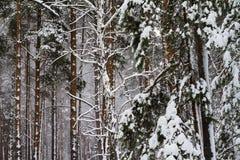 Άσπρο χιονισμένο πεύκο στο δάσος Στοκ εικόνες με δικαίωμα ελεύθερης χρήσης