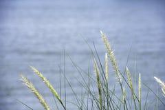 Άσπρο χλόη ανθών ή pedicellatum Pennisetum που ταλαντεύονται στο νερό υποβάθρου αέρα στοκ εικόνα
