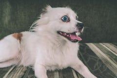 Άσπρο χνουδωτό σκυλί που βρίσκεται στον καναπέ και το πολύ προσεκτικό κοίταγμα στην πλευρά στοκ εικόνες