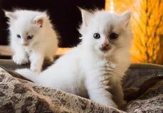 Άσπρο χνουδωτό γατάκι Στοκ Εικόνες