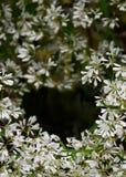 άσπρο χριστουγεννιάτικο δέντρο λουλουδιών κινηματογραφήσεων σε πρώτο πλάνο στον κήπο Στοκ εικόνες με δικαίωμα ελεύθερης χρήσης