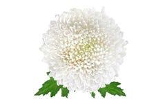 Άσπρο χρυσάνθεμο λουλουδιών στοκ εικόνες