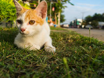 Άσπρο χρυσό παιχνίδι συνεδρίασης γατακιών στον τομέα Στοκ φωτογραφία με δικαίωμα ελεύθερης χρήσης