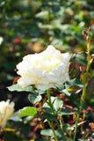 Άσπρο χρωματισμένο λουλούδι Στοκ Φωτογραφία