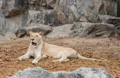 Άσπρο χρώμα της Αφρικής λιονταριών στο βιότοπο φύσης Στοκ φωτογραφία με δικαίωμα ελεύθερης χρήσης