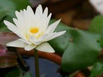 Άσπρο όμορφο λουλούδι λωτού Στοκ Εικόνες