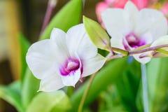 Άσπρο όμορφο orchid στοκ εικόνες