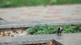 Άσπρο alba Α πουλί Wagtail Motacilla με τα άσπρα, γκρίζα και μαύρα φτερά στο πάρκο πόλεων Ευχάριστος ένας μικρός, με μακριά ουρά απόθεμα βίντεο