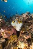 Άσπρο anemone και τροπικός σκόπελος στη Ερυθρά Θάλασσα. Στοκ Εικόνες
