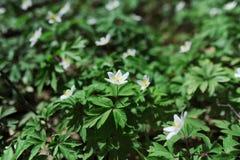 Άσπρο anemone λουλουδιών στο δάσος Στοκ Εικόνες