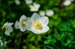 Άσπρο anemone που ανθίζει στην άνοιξη Στοκ Φωτογραφίες