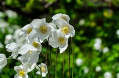 Άσπρο anemone που ανθίζει στην άνοιξη Στοκ φωτογραφίες με δικαίωμα ελεύθερης χρήσης