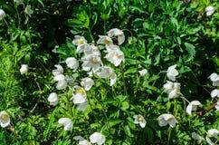 Άσπρο anemone που ανθίζει στην άνοιξη Στοκ εικόνες με δικαίωμα ελεύθερης χρήσης