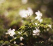Άσπρο anemone. πρόωρα λουλούδια άνοιξη Στοκ φωτογραφία με δικαίωμα ελεύθερης χρήσης