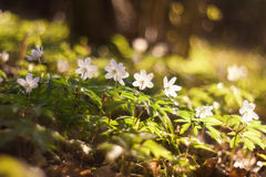 Άσπρο anemone. πρόωρα λουλούδια άνοιξη Στοκ φωτογραφίες με δικαίωμα ελεύθερης χρήσης