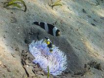 άσπρο anemone στην άμμο με τα ψάρια Στοκ Φωτογραφία
