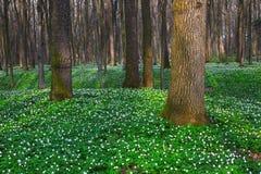 Άσπρο anemone στην πράσινη χλόη και δέντρα γύρω από το Στοκ εικόνες με δικαίωμα ελεύθερης χρήσης