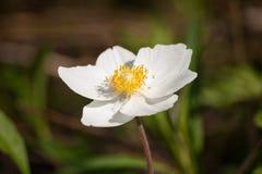 Άσπρο anemone στο φυσικό floral υπόβαθρο Στοκ φωτογραφία με δικαίωμα ελεύθερης χρήσης
