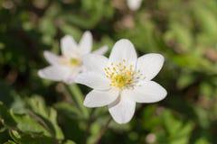 Άσπρο anemone την άνοιξη Στοκ εικόνες με δικαίωμα ελεύθερης χρήσης