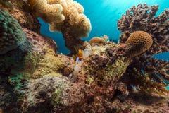 Άσπρο anemone φυσαλίδων και anemonefish στη Ερυθρά Θάλασσα. Στοκ εικόνες με δικαίωμα ελεύθερης χρήσης