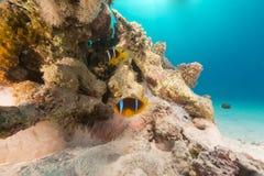 Άσπρο anemone φυσαλίδων και anemonefish στη Ερυθρά Θάλασσα. Στοκ εικόνα με δικαίωμα ελεύθερης χρήσης