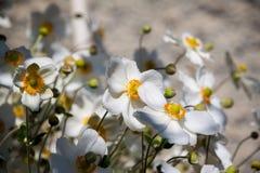 Άσπρο anemone Στοκ εικόνες με δικαίωμα ελεύθερης χρήσης