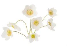Άσπρο anemone Dubravnaya λουλουδιών Στοκ Εικόνα