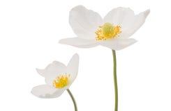 Άσπρο anemone Dubravnaya λουλουδιών Στοκ εικόνα με δικαίωμα ελεύθερης χρήσης