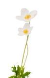 Άσπρο anemone Dubravnaya λουλουδιών Στοκ φωτογραφία με δικαίωμα ελεύθερης χρήσης