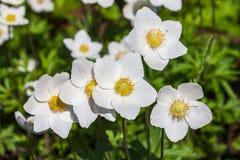 Άσπρο anemone - nemorosa anemone ` κλείστε επάνω Στοκ φωτογραφία με δικαίωμα ελεύθερης χρήσης