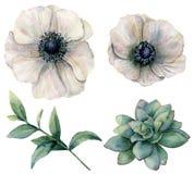 Άσπρο anemone Watercolor και πράσινο succulent σύνολο Χρωματισμένα χέρι λουλούδια με τα φύλλα ευκαλύπτων που απομονώνονται στο λε Στοκ φωτογραφία με δικαίωμα ελεύθερης χρήσης