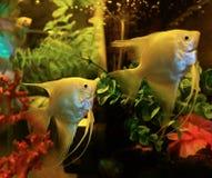 Άσπρο Angelfish Στοκ Εικόνα