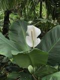 Άσπρο Anthurium λουλούδι στο βοτανικό κήπο Στοκ εικόνα με δικαίωμα ελεύθερης χρήσης