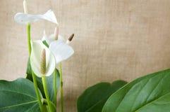 Άσπρο anthurium με τα πράσινα φύλλα Στοκ Εικόνες
