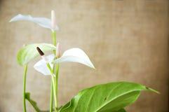 Άσπρο anthurium με το φυσικό καφετί υπόβαθρο Στοκ εικόνα με δικαίωμα ελεύθερης χρήσης