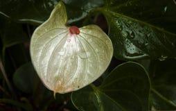 Άσπρο Anthurium λουλούδι με το φωτεινό ρόδινο κέντρο Στοκ Εικόνα