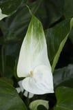 Άσπρο Anthurium, λουλούδι φλαμίγκο Στοκ Εικόνα